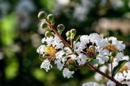Dwarf Crape Myrtle White 5 Seeds- Longest Blooming Tree